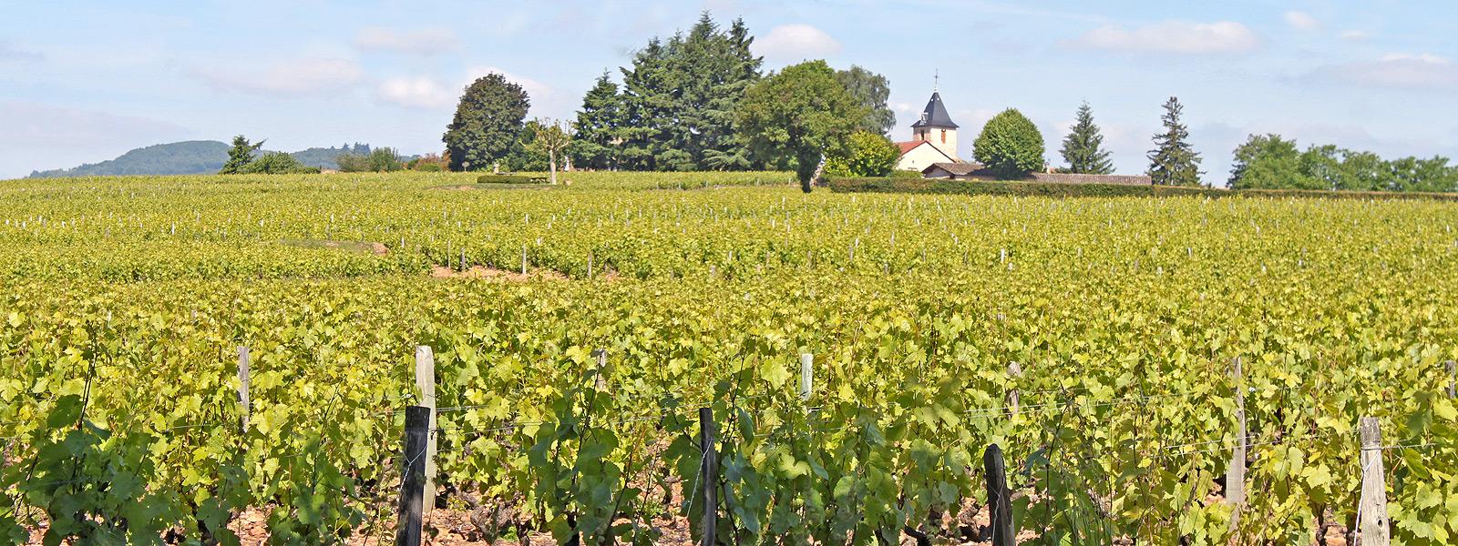 vignes-saint-amour